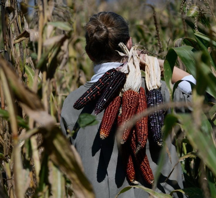 """""""El maíz es clave para generar empleo de mujeres pobres y para apoyar a la comunidad indígena"""""""